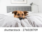 Stock photo cute fawn colored corgi mix on bed 276028709