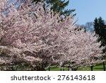 Cherry Blossom Sakura Trees...