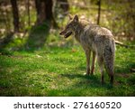 Small photo of A common North American coyote ( Canis Latrans) captured from the rear and looking to the left.