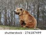 Brown Bear Siting In Nature