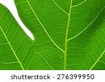 Breadfruit Leaf Texture...