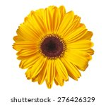 Yellow Gerbera Daisy Isolated...