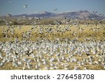 Snow Geese Take Off From...