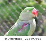 Small photo of Alexandrine Parrot