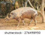 Babirusa In A Zoo  Buru...