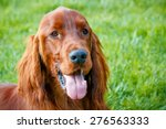 Obedient Nice Irish Setter With ...