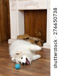 Cute Samoyed Dog Playing With...