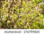 Buds Of Spring Leaves On A Twi...