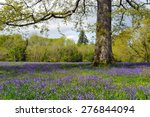 a glade of spring bluebells...
