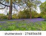 A Bluebell Meadow In Cornwall