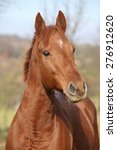Portrait Of Nice Chestnut Hors...