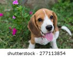 Stock photo beagle puppy sitting on green grass 277113854