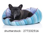 Stock photo cute french bulldog in a soft bed isolated 277232516