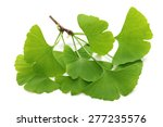 Ginkgo Biloba Leaves Isolated...
