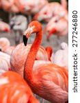 Small photo of american flamingo with some chilean flamingos in the background