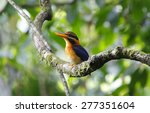 Small photo of Rufous-collared Kingfisher Actenoides concretus