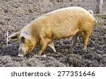 mangalica searching for food   Shutterstock . vector #277351646
