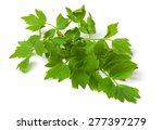 Lovage  Isolated