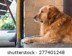 golden retriever guarding on... | Shutterstock . vector #277401248