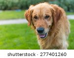 happy golden retriever at home | Shutterstock . vector #277401260
