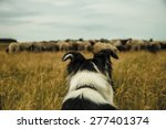 Danish Sheepdog