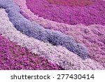 Purple  Pink Carpet Of Phlox...