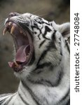white tiger portrait close up | Shutterstock . vector #27748084