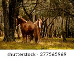 New Forest Ponies In A Wooded...