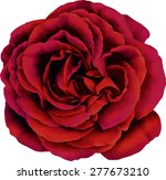 Stock vector beautiful red rose flower isolated on white background vector illustration 277673210