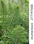 Common Horsetail Fern  ...
