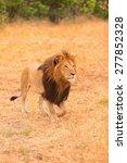 Male Lion Portrait In Masai...