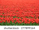 Red Tulip Field In Netherlands