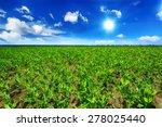 Pea field - stock photo