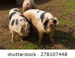 Two Black And White Pigs With...