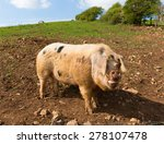 Pig With Black Spots In A Field