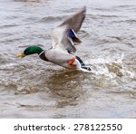 Mallard Duck Taking Off From A...