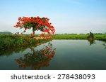 Royal Poinciana Tree  Delonix...