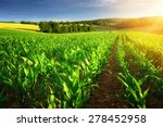 rows of young corn plants on a... | Shutterstock . vector #278452958
