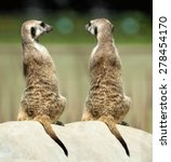 Two Meerkats Sitting On The...