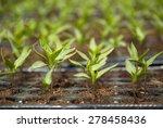 fresh peppers seedlings in a... | Shutterstock . vector #278458436