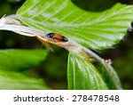 Small photo of little elaterid in spring (beech leafs)