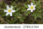 oxalis acetosella flowers ... | Shutterstock . vector #278511764