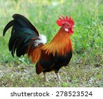beautiful rooster on nature... | Shutterstock . vector #278523524
