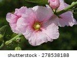 alcea rosea    Shutterstock . vector #278538188
