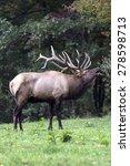 Bugling Bull Elk - Photograph taken Elk County, Benezette, Pennsylvania