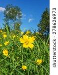 Meadow Buttercups Flowering On...