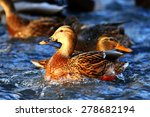 Landscape Wildlife Duck Drakes