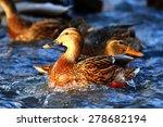 Landscape Wildlife Duck Drakes