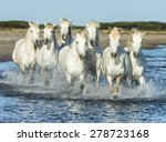 White Camargue Horses Running...