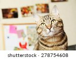 Beautiful Shorthair Cat
